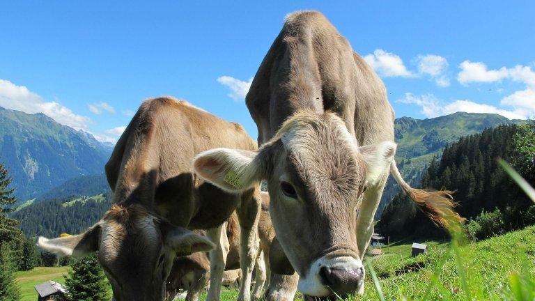 cow-Pixabay-2