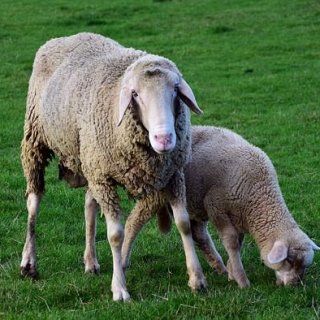 sheep-2912880_640